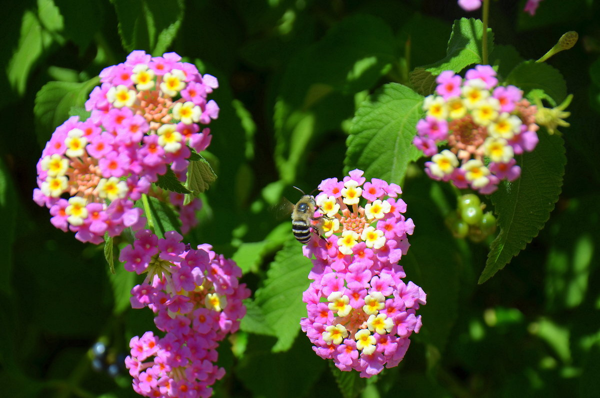 Пчелка на цветке. - Оля Богданович