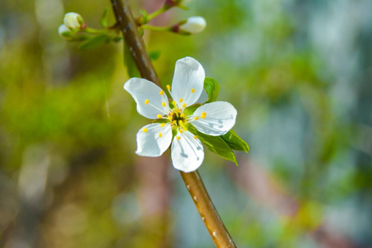 цветок белее белого - Света Кондрашова
