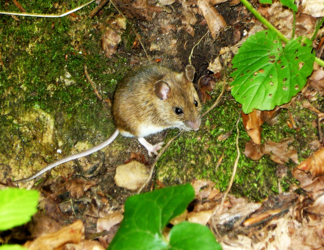 Горный мышонок - Надежда