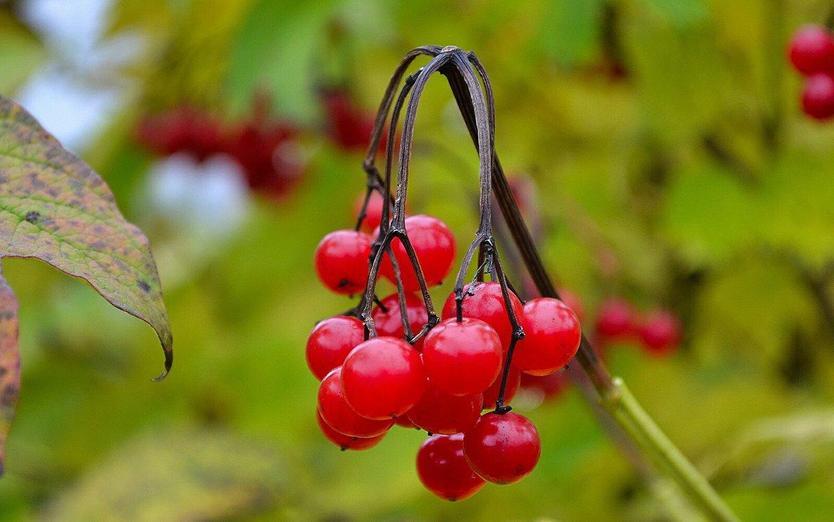 Осенние ягоды - Милешкин Владимир Алексеевич