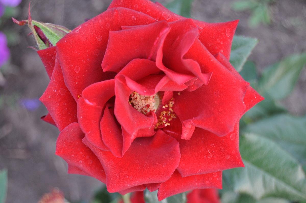 Красный Бархат Розы - Tatyana Kuchina