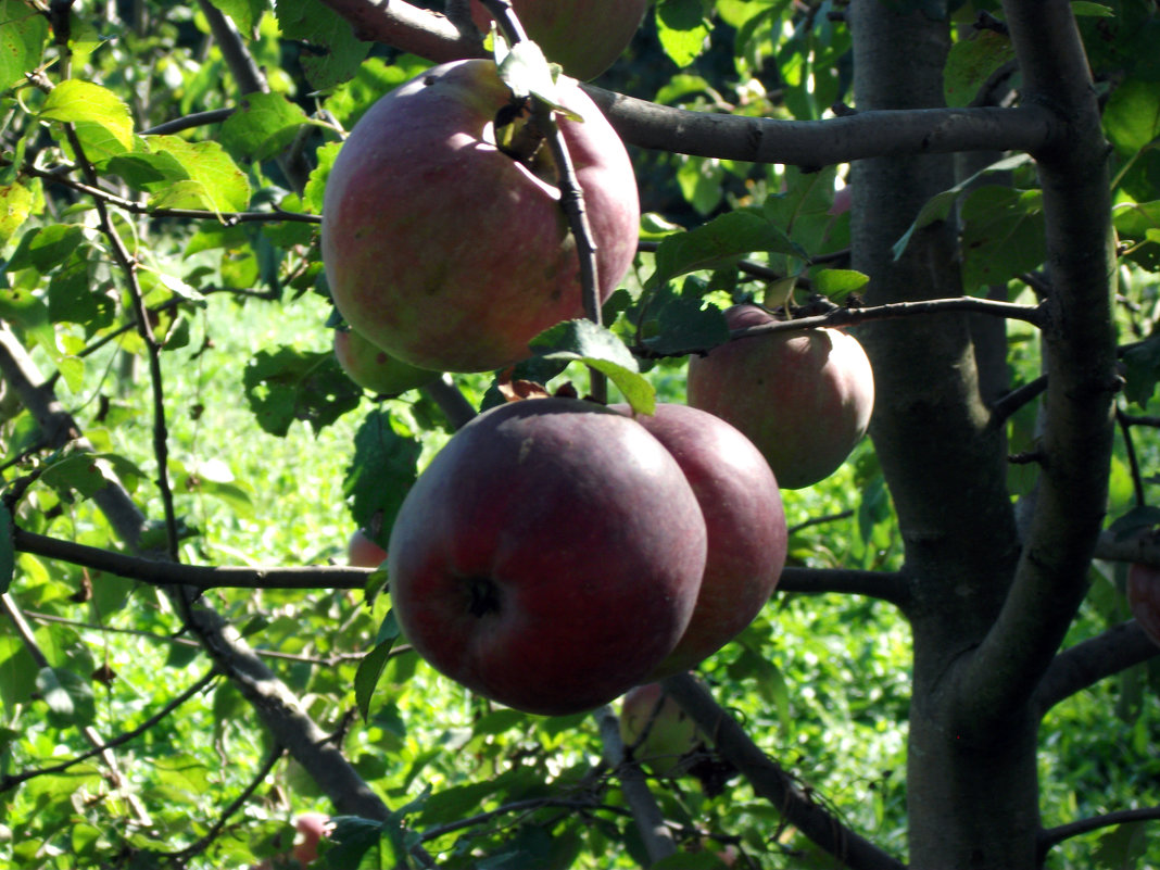 Яблочки - Oleg Arince
