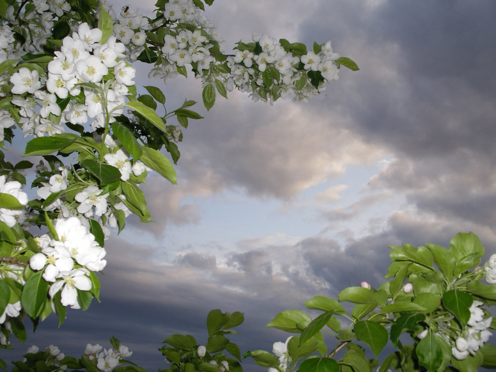 Яблони в цвету - Natalia