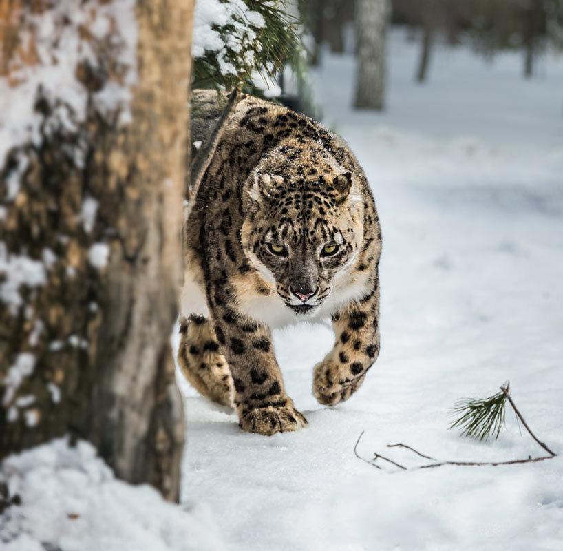 Снежный барс - Nn semonov_nn