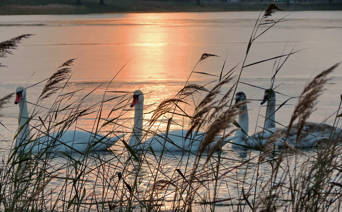 И вид лебедей,как отрада для глаз... - Liliya Kharlamova