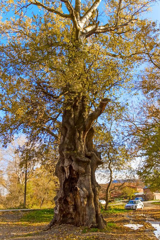 Старое дерево - Елена Васильева