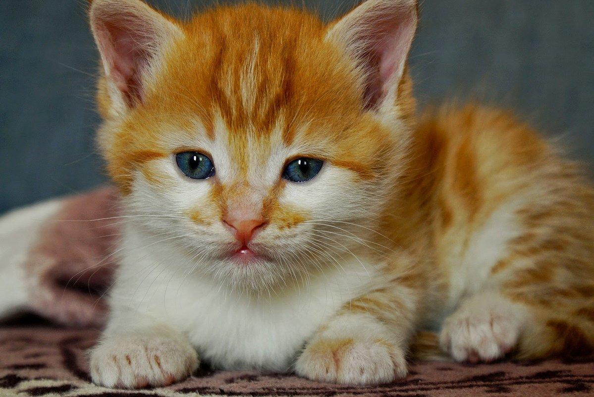 Я рыжий маленький котёнок.... - владимир