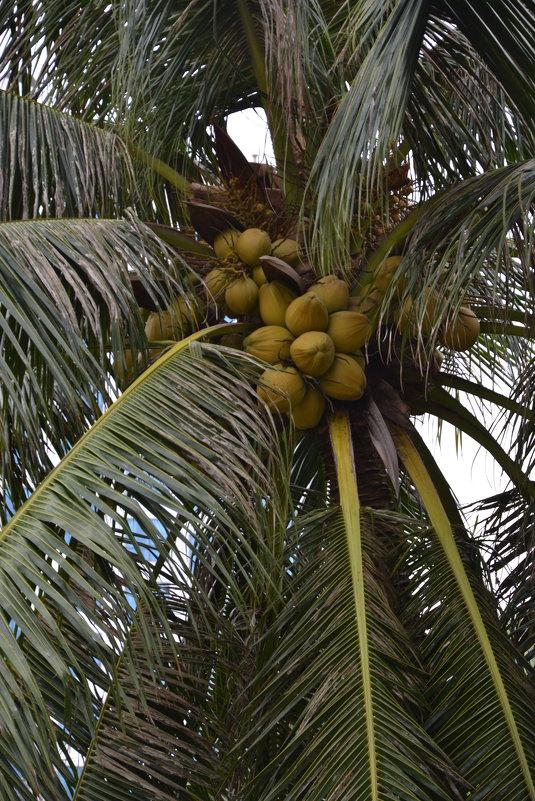 бананы - кокосы ... - Алексей Корзников