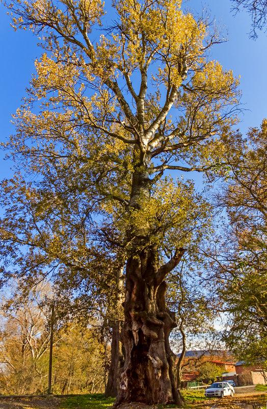 Старое дерево еще раз - Елена Васильева