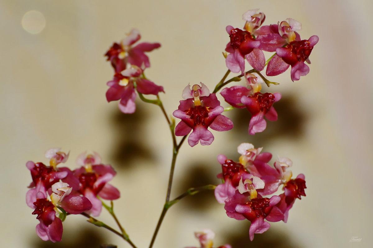 Макро  орхидея. - Sergey (Apg)