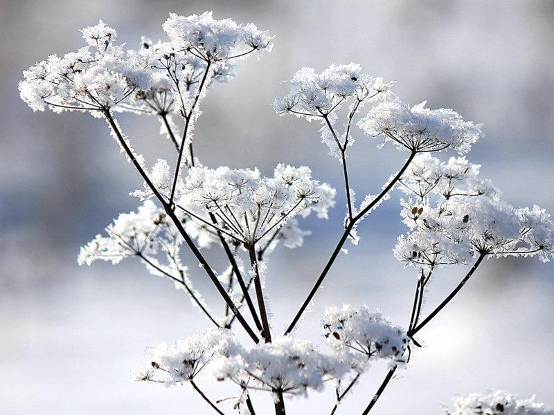 Снежные цветы. - оля san-alondra