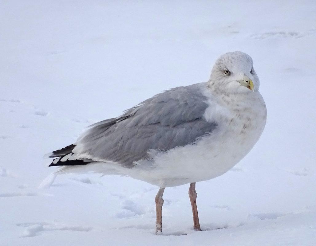 Серебристая чайка - Константин Ординарцев