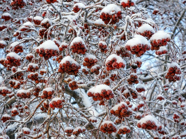 Ягоды под снегом - IURII