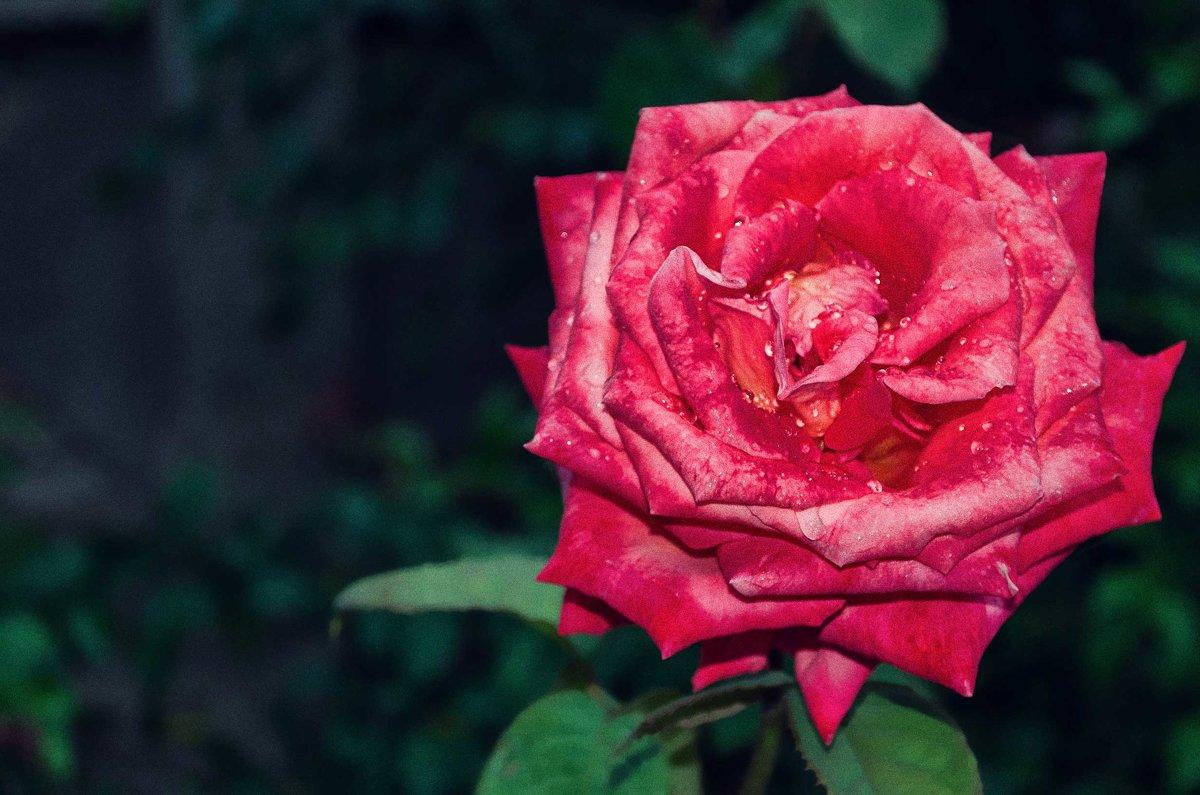 Алый бархат розы. - Елена Данько