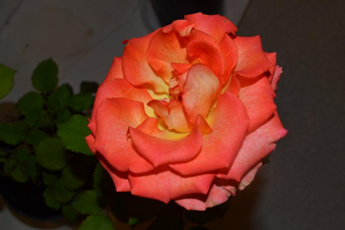 Роза. - zoja