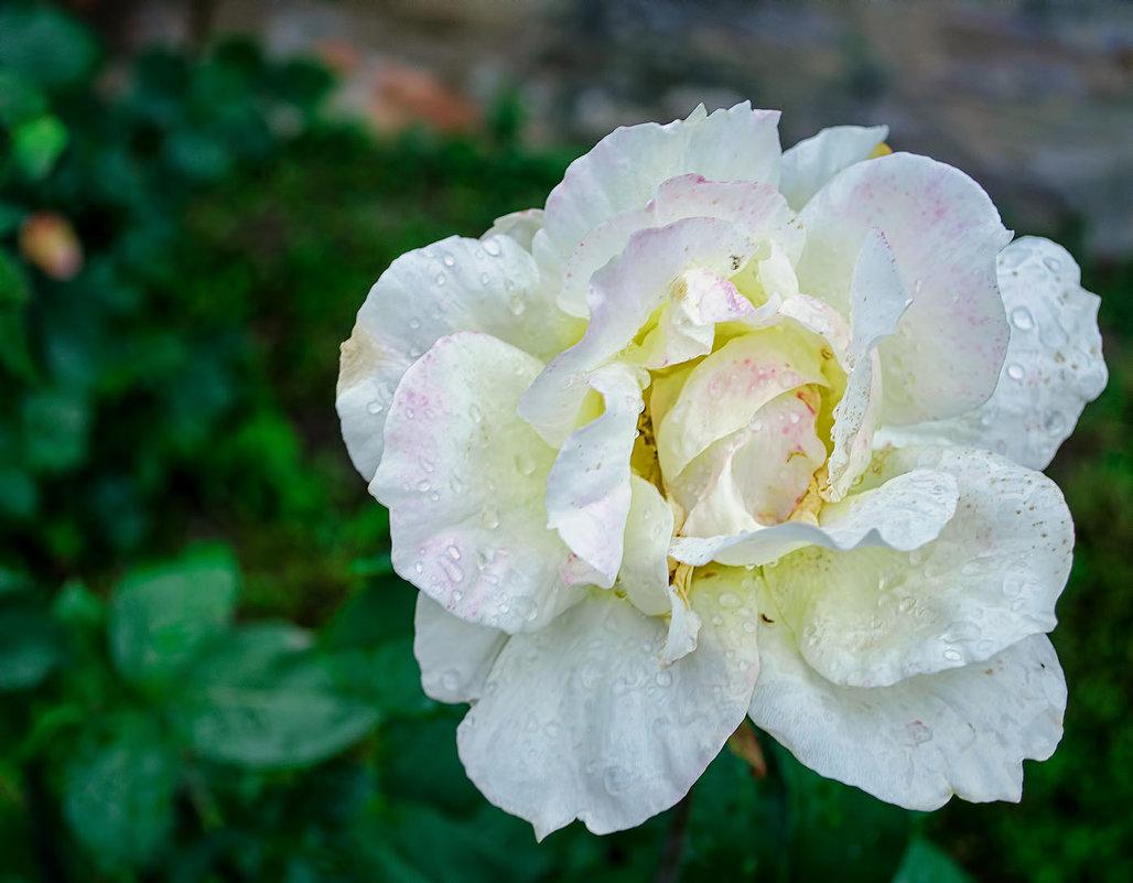 Розы белой кружева.. - Елена Данько
