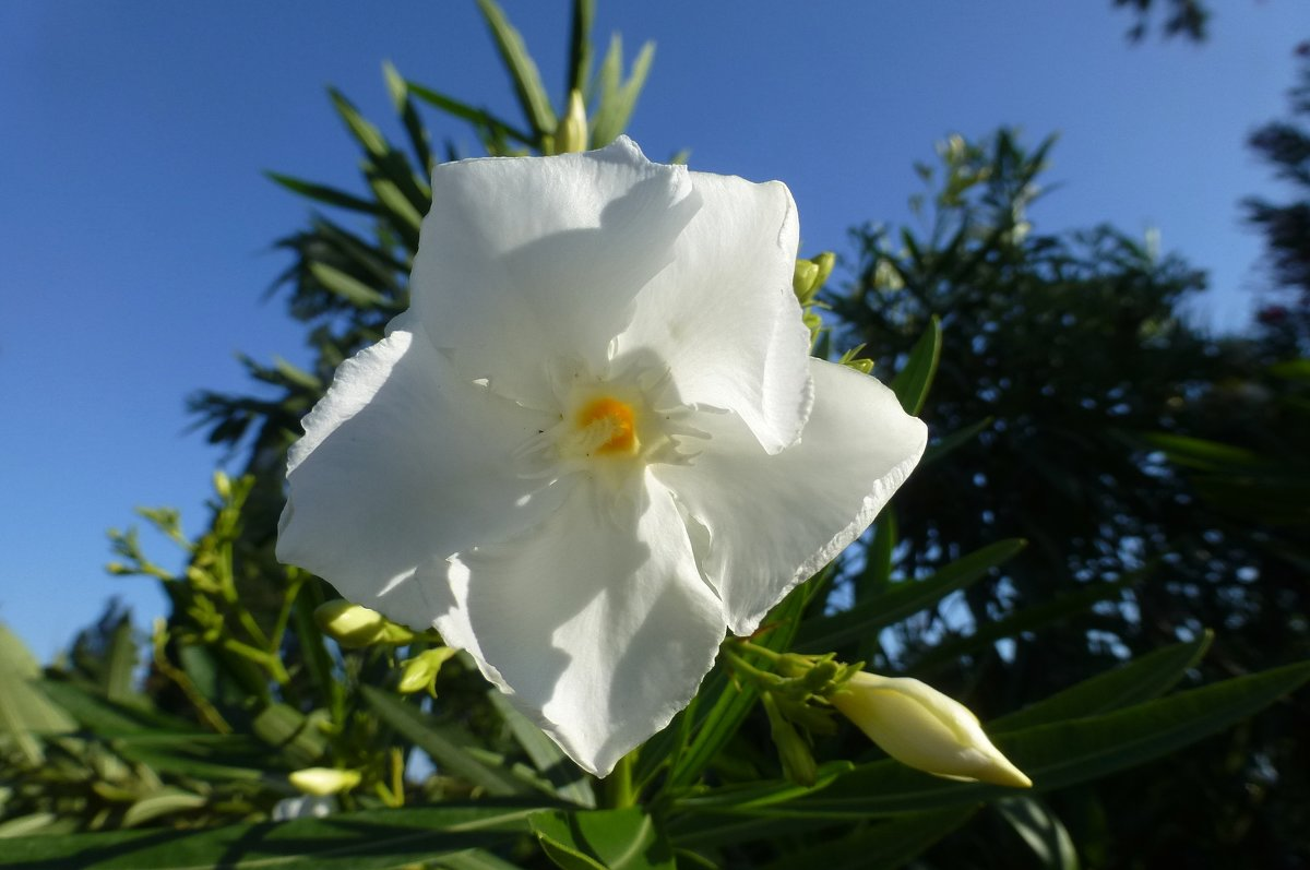 Цветок олеандра - Наиля