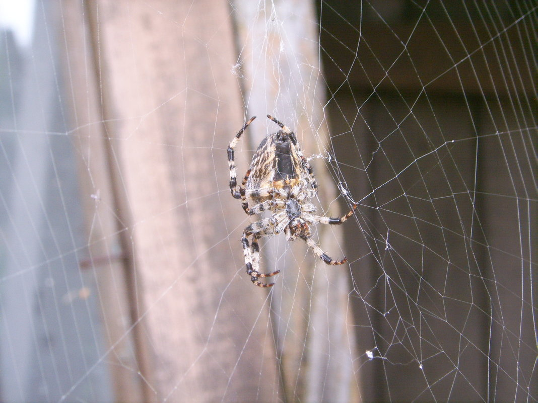паук - Светлана