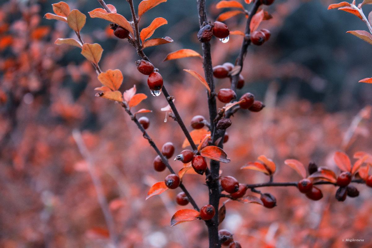 Осенние ягоды. - Svetlana