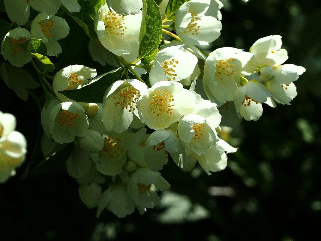 Пышное цветение весны - Swetlana V