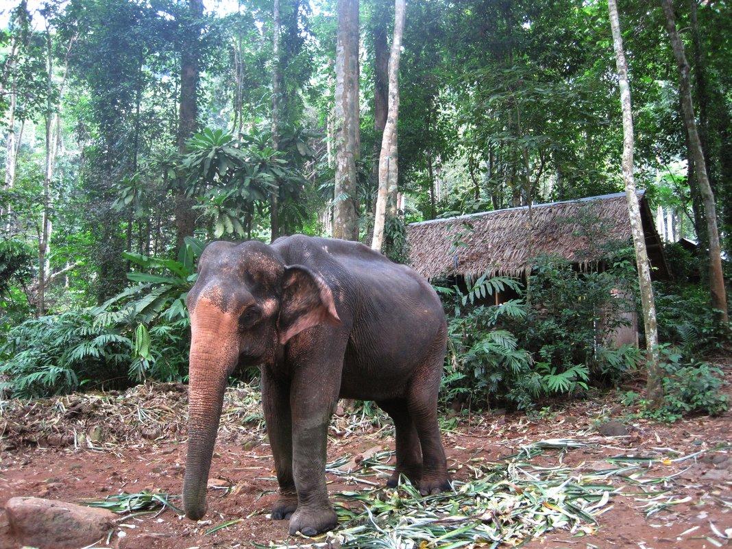 Остров Ко Чанг. Слонёнок из горных джунглей. - Лариса (Phinikia) Двойникова