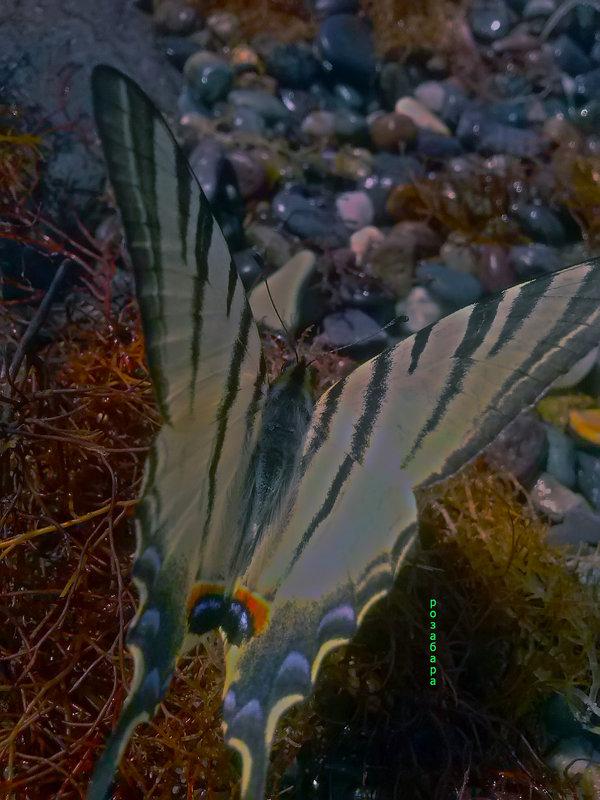 бабочка на царском селе-царская)) - Роза Бара