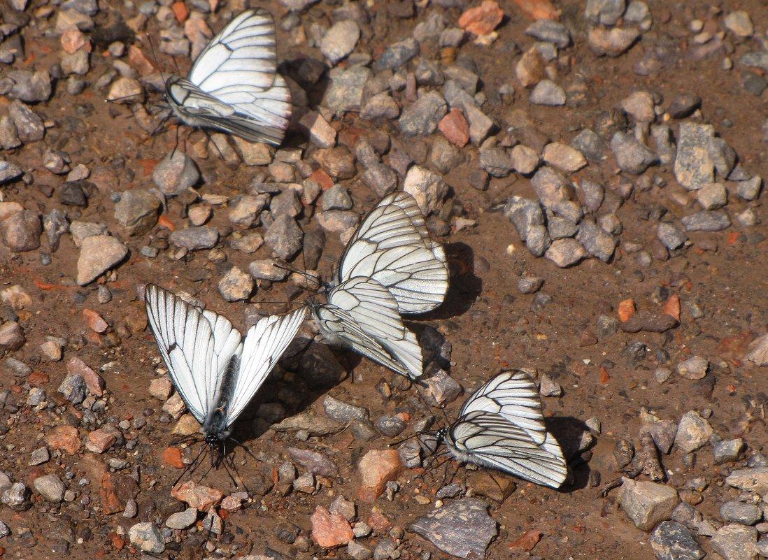 Бабочки БОЯРЫШНИЦЫ - GalLinna Ерошенко