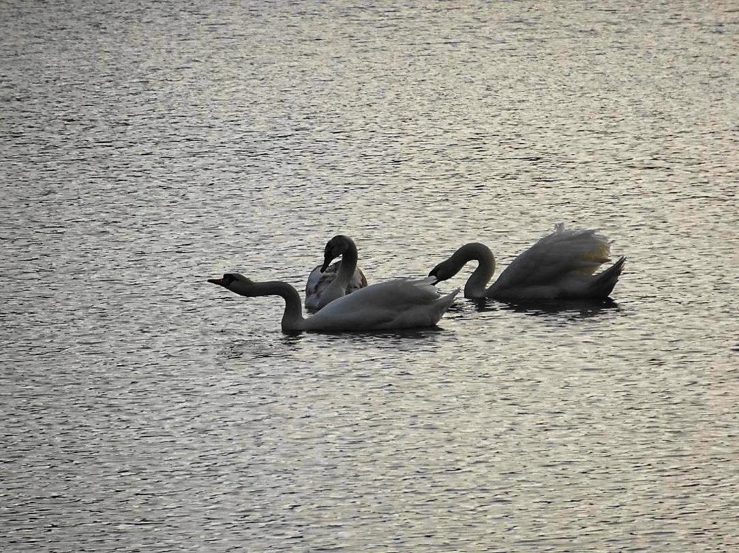 Лебеди в лучах утреннего январского солнца - Маргарита Батырева