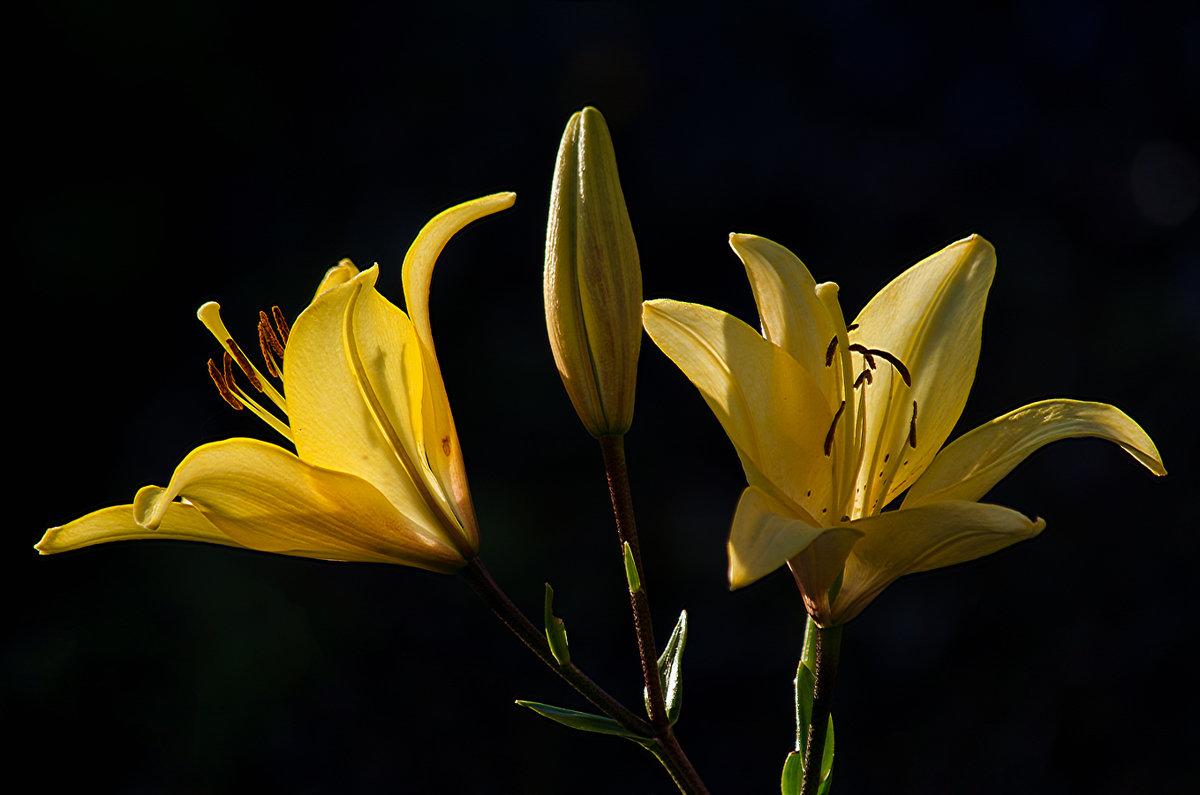 Лилейный блеск софитовых соцветий - Luis-Ogonek *