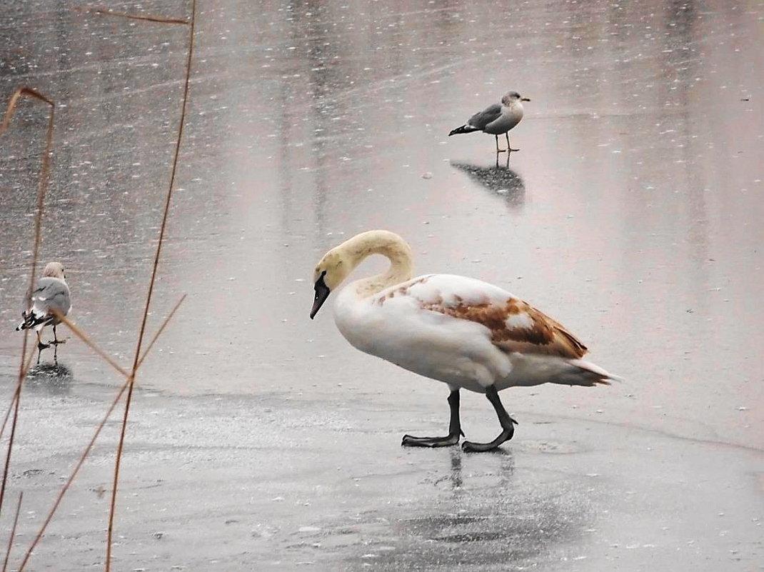 Ещё через сутки эта красивая птица  осталась  одна - Маргарита Батырева