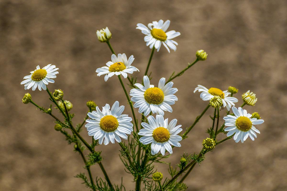 Цветы июня - Игорь Сикорский