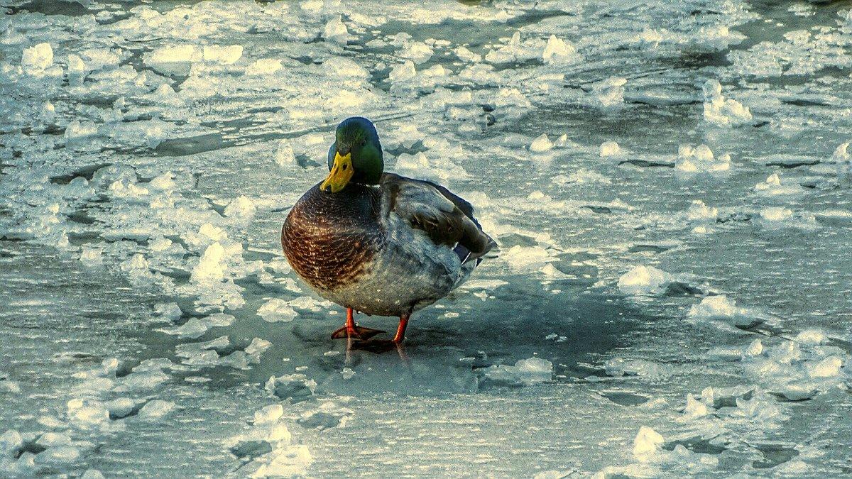 Дикие утки на зимовке в городе - Милешкин Владимир Алексеевич