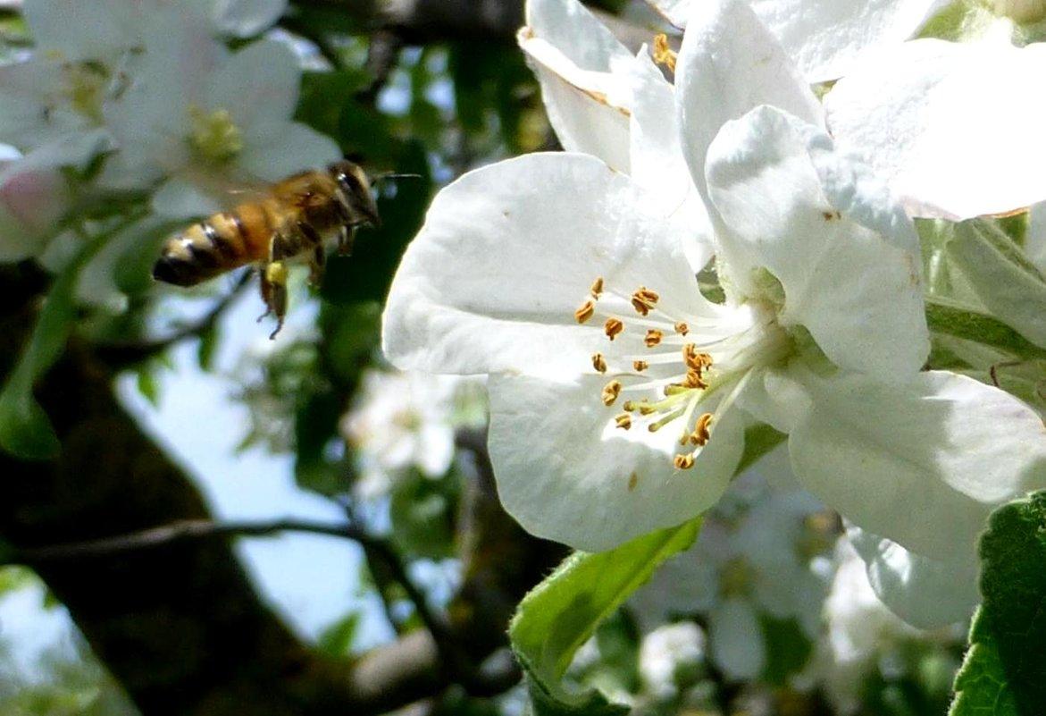 Пчёлочка златая. - Михаил