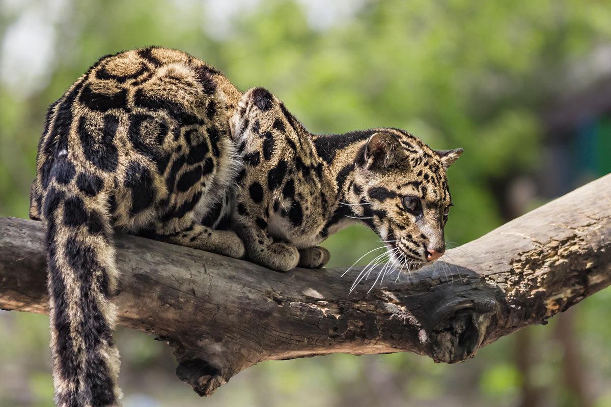 Дымчатый леопард - Nn semonov_nn
