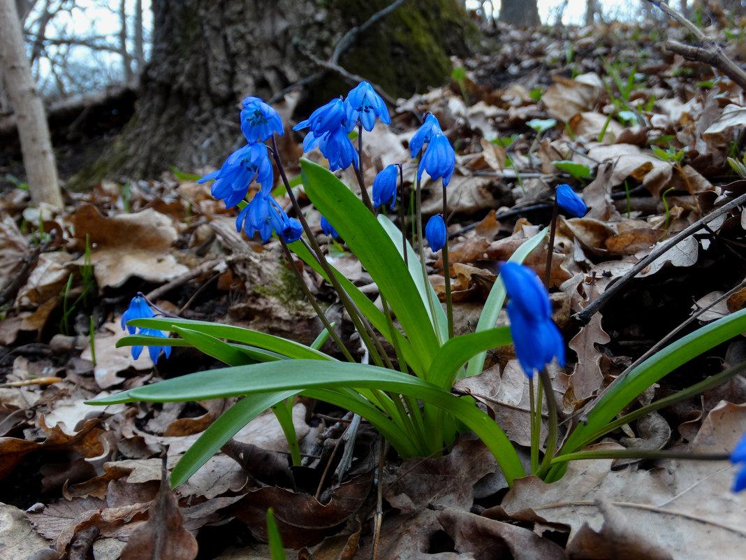 Первые цветы весны. - Васильевич .