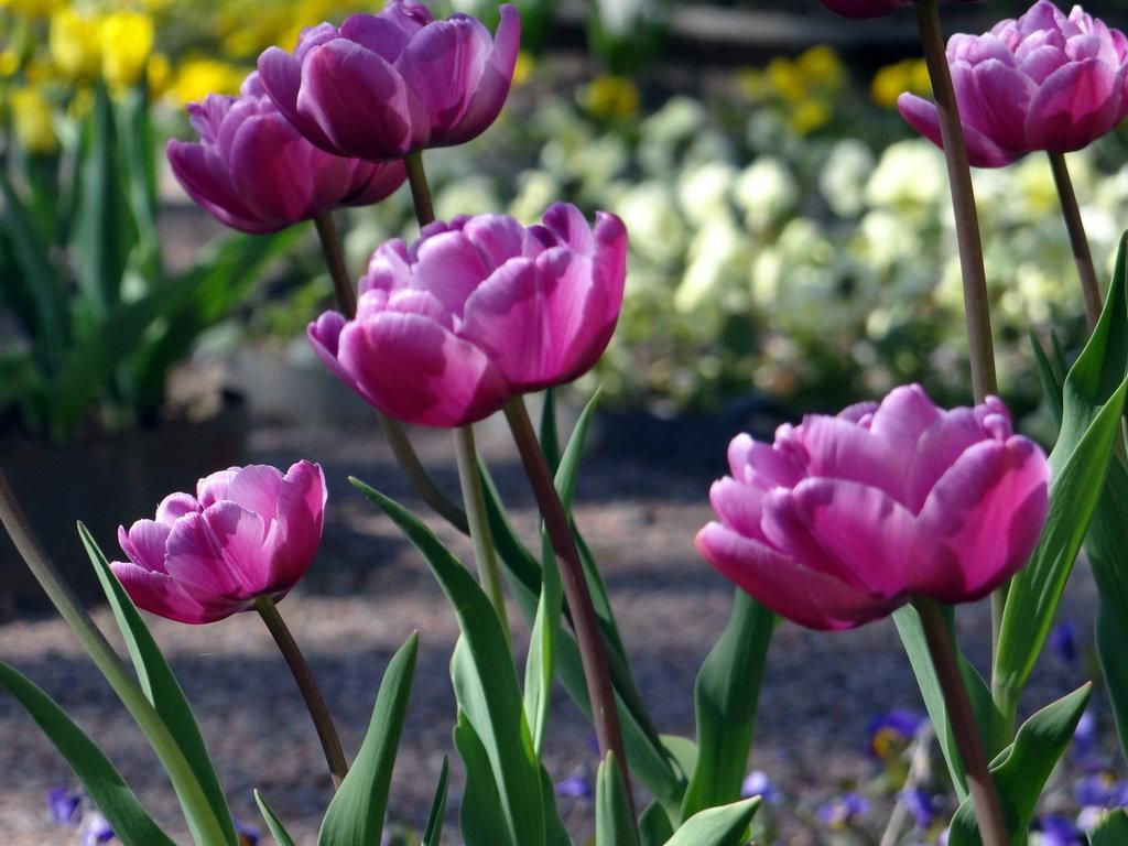 Тюльпаны 10 - Алексей Цветков