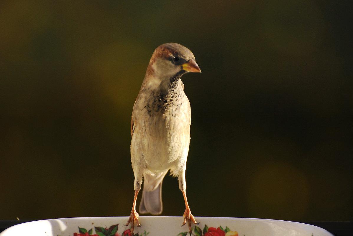 воробей - linnud
