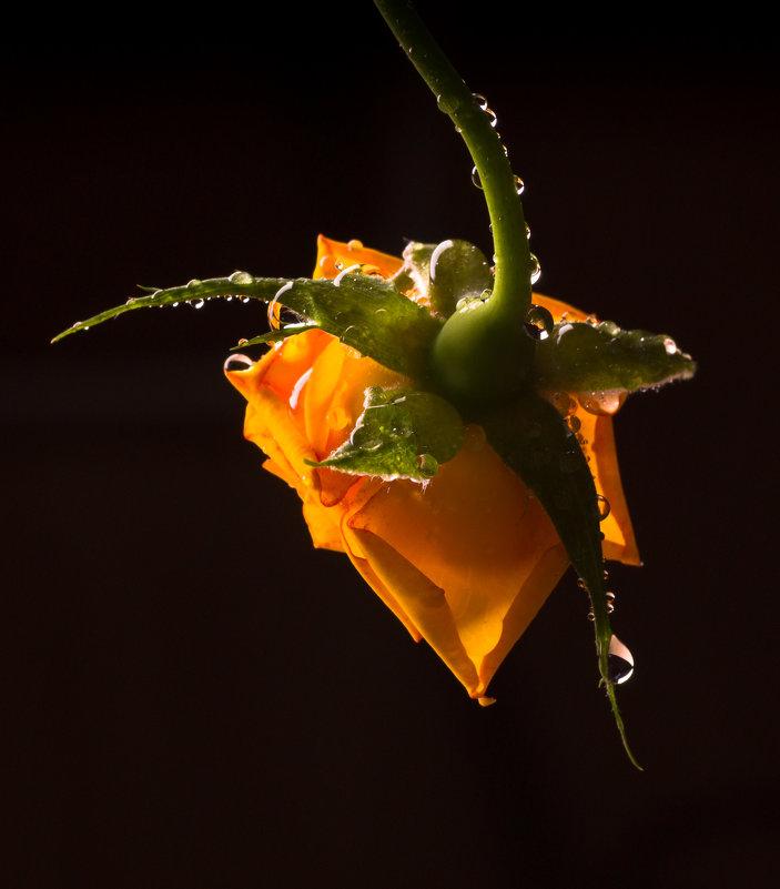 Роза обыкновенная... - Sergey Apinis