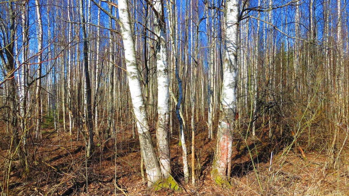 Березовый лес в апреле. - ВАЛЕНТИНА ИВАНОВА