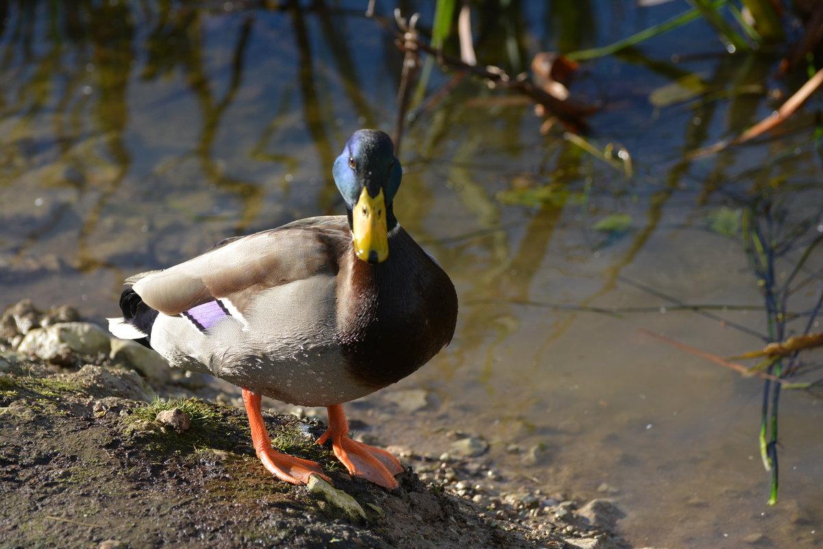 красавчик - linnud