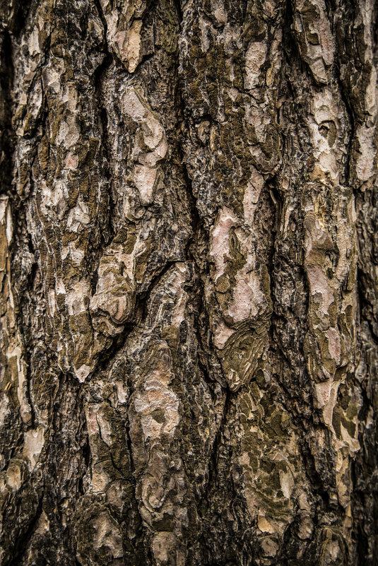 дерево сосна - Василий Шестопалов