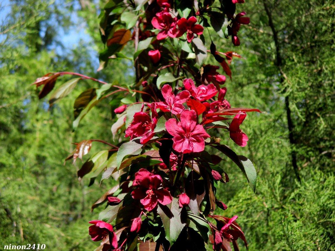 Декоративная яблоня - Нина Бутко