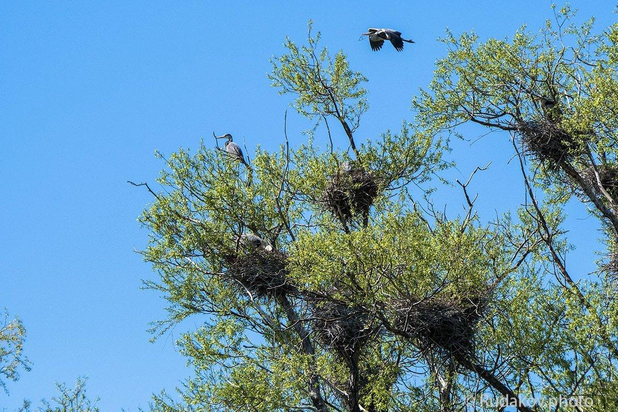 Цапли на гнездах - Сергей