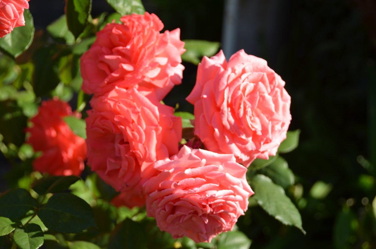 Эти чудные розы Калифорнии - Николай Танаев