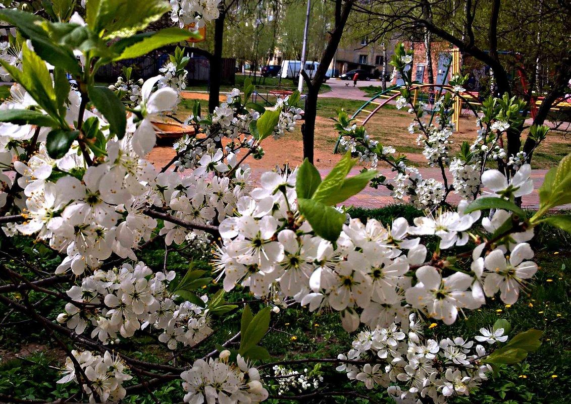 Цветение вишни - Елена Семигина
