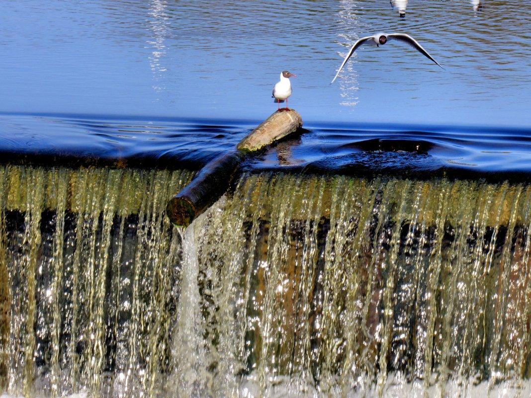 Чайки на дамбе - Падонагъ MAX