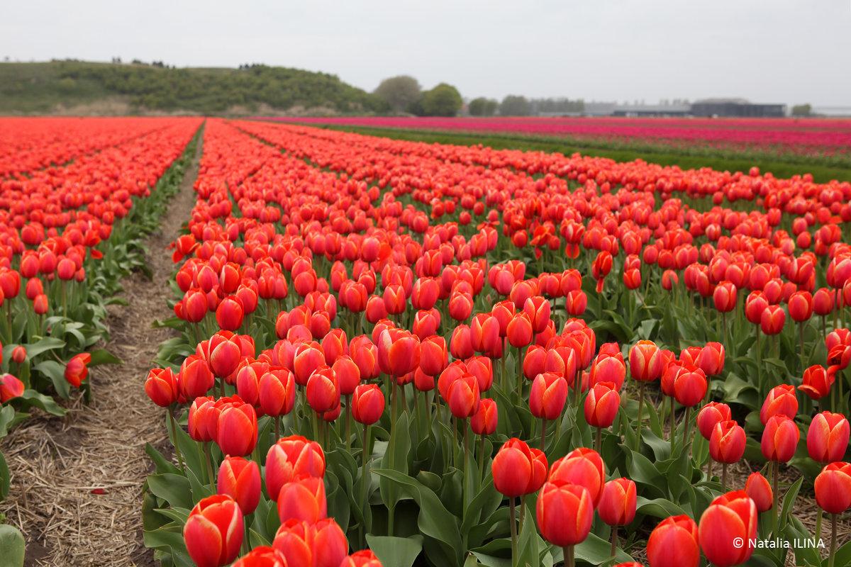 Тюльпановые поля в Голландии - Фотограф в Париже, Франции Наталья Ильина
