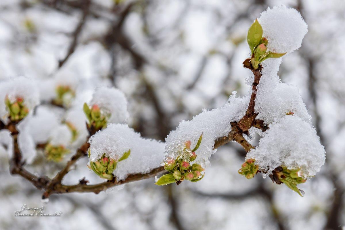 Яблони в снегу... 2 - Вячеслав Овчинников