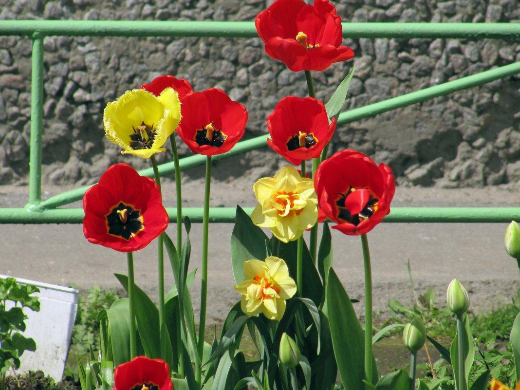 Тюльпаны - Вера Щукина