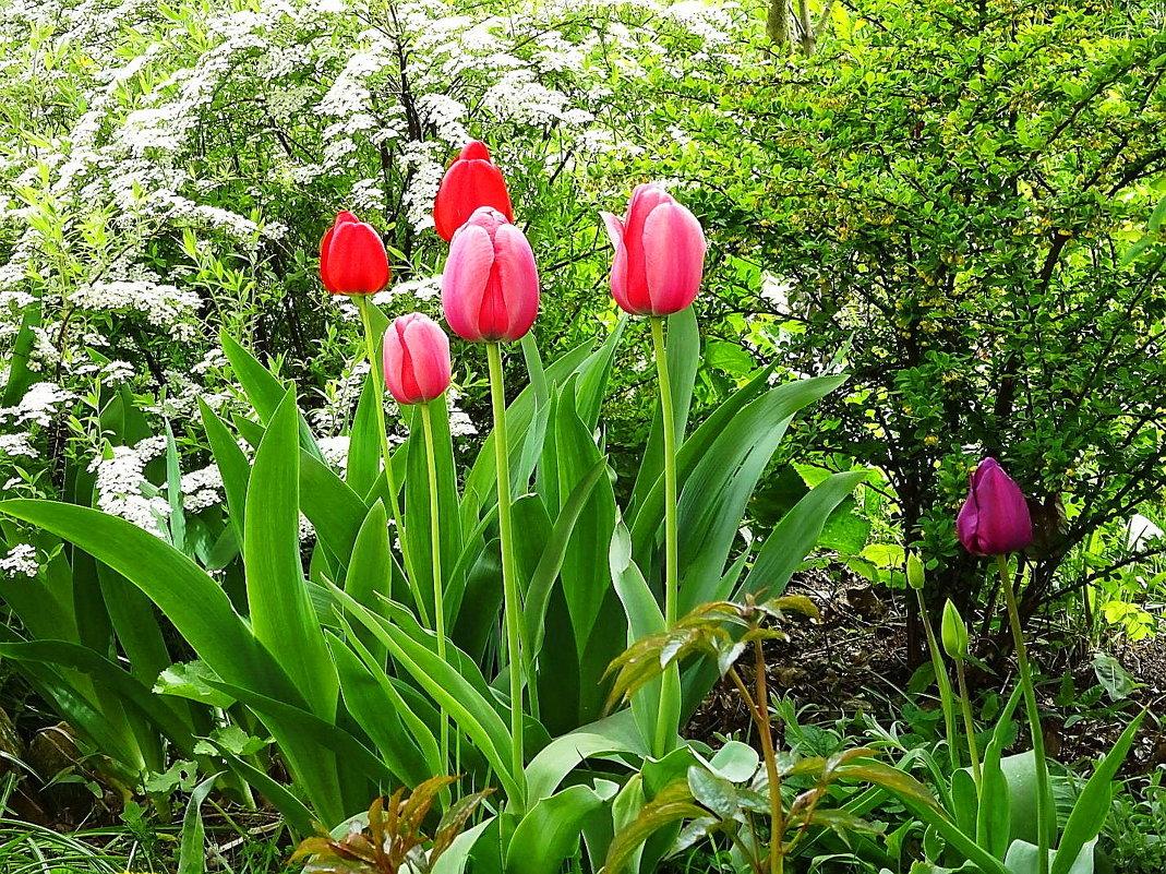 Тюльпаны - Маргарита Батырева